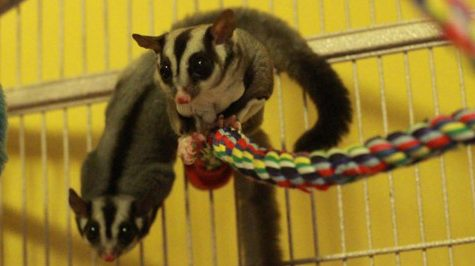 Sugar Gliders As Part of The Family