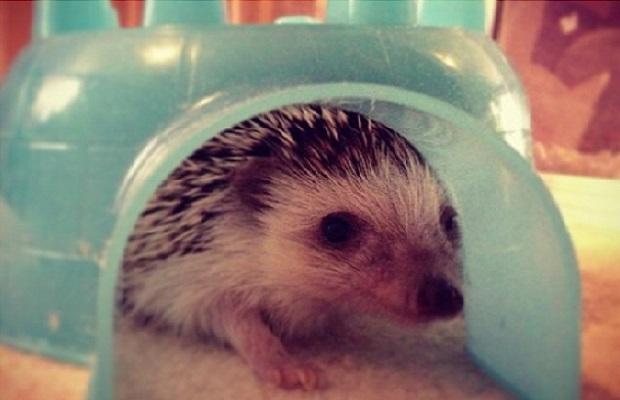 Jordin Grahams Hedgehog (Hedgie Boo-Boo)